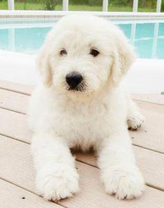 English Cream Goldendoodle Puppy
