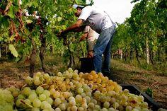 Al via la vendemmia di Moscato e Asti  Minor quantità ma buona resa delle uve…