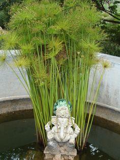 Common name: Umbrella palm, Dwarf papyrus grass, Umbrella plant
