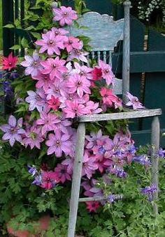 Clematis vine growing over an old blue chair.