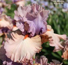 TB Iris germanica 'La Scala' (Keppel, 2007)
