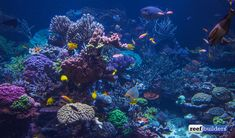 The gallon reef tank in Long Island NY designed and maintained by Joe Yaiullo has long been the apex of large reef aquarium displays. Saltwater Fish Tanks, Saltwater Aquarium, Marine Aquarium, Reef Aquarium, Nano Tank, Long Island Ny, Tropical Fish, Sea Creatures, Under The Sea
