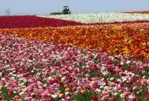 Just found out about the wonderful Flower Fields at Carlsbad Ranch, CA.....ranunculus in profusion.....
