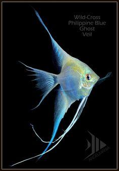 Wild Philippine Blue Ghosts