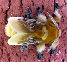 A moth in the Megalopygidae family, though not the one in the study. This is a male Southern flannel moth (Megalopyge opercularis). Photo by: Patrick Coin Venomous Caterpillar, Cool Insects, Bugs And Insects, Weird Insects, Flying Insects, Neo Grunge, Soft Grunge, Grunge Style, Insects