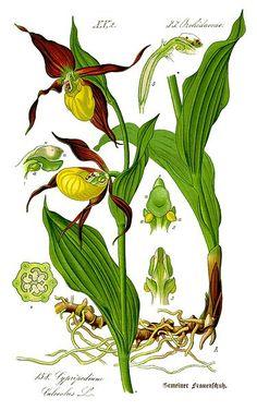 cypripedium calceolus (common name: lady's slipper) [fr: sabot de venus, sabot de la vierge, soulier de notre-dame]