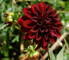 Posts about dahlias written by uribg Dark Flowers, Dahlia Flowers, Dahlias, Botanical Gardens, Dark Red, Red Roses, Wedding Flowers, Centerpieces, Home And Garden