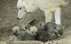 White Wolf: Cute arctic wolves born in Austria