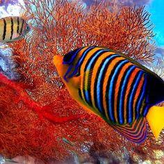 Angel Fish...
