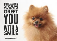 Inquisitive by nature and cute in size, Pomeranians are a true 'toy dog.' Pomeranians are perky and friendly and if you are thinking about getting a puppy Pomeranian Puppy, Pomeranian Memes, Teacup Pomeranian, Yorkie Dogs, Chihuahua, Baby Animals, Funny Animals, Save A Dog, Pets