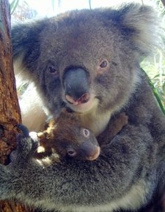 Have your photo taken standing with the koalas with your own camera - so no charge!  Caversham Wildlife Park.