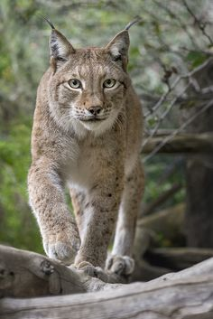 Siberian Lynx | All lynx have their character