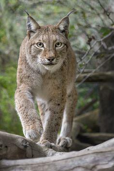 Siberian Lynx | All lynx have their character