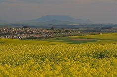 Table Mountain from Malmesbury Canola Field, Table Mountain, Beach Tops, Cape Town, National Geographic, West Coast, South Africa, Trip Advisor, The Good Place