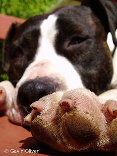 American Staffordshire Terrier - Akira.jpg by Lens linker, via Flickr