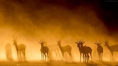 Antelopes in the dust in the Kgalagada National Park South Africa