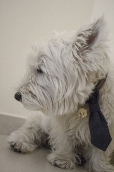 #dogtie and #collar for #elegant #dogs. BowPawTie's #tie.