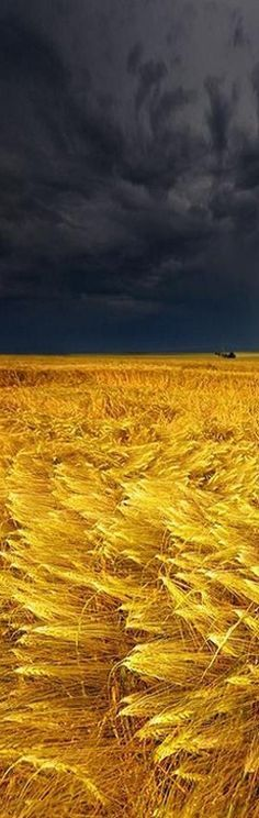 Storm over a wheatfield