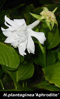 Hostas are easy to grow, shade tolerant, herbaceous perennials. Hostas are grown mainly for their beautiful foliage. Hosta leaves come in a wide range of shapes, colors, sizes, and textures. One common name for Hosta still used in some garden centers is Plantain Lily. Hostas are sometimes still referred to as Funkia. But the real name for hosta is Hosta.