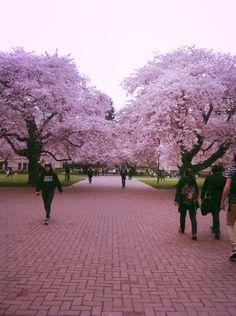 University of Washington cherry blossom trees