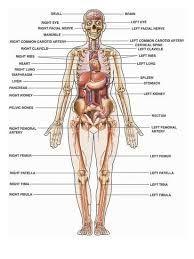 Le Corp Humain Et La Santé : humain, santé, Human, Recherche, Google, Anatomy, Picture,, Organs,, Female