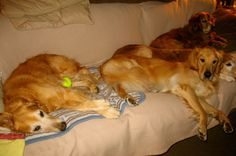 sleeping goldens