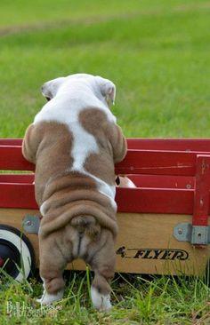 English Bulldog ~ Booty!