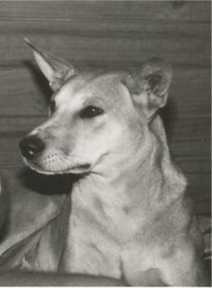 Dingo Lady: Lucy and Narada: The Mount Panorama Dingoes