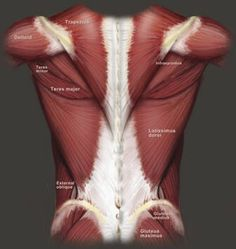 The anatomy of the back and all the muscle that I love to target during my workouts