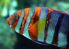 Fabulous colour on this unidentified (by photographer) fish...