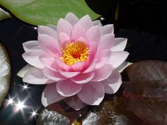 Water Lily - July Birth Flower (USA)