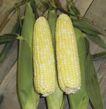 Mirai 308bc Hybrid Sweet Corn -(su/se/sh2) Attractive 8 inch ears with refined bicolor kernels of exceptional quality. Dark green husks. 5-1/2 ft. plant.