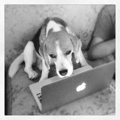 Beagle loves apple romimant