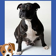 Pictures of Gloria a Pit Bull Terrier for adoption in Columbus, OH who needs a loving home.