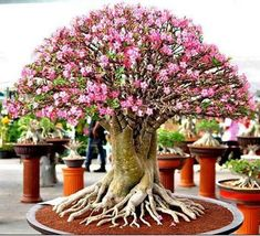 Learn how to make a Bonsai tree by yourself. We explain How to care, Cultivate and Maintain your Bonsai tree, Step-by-step guides with an easy understand. Ikebana, Ficus Bonsai, Bonsai Garden, Bonsai Trees, Pine Bonsai, Plantas Bonsai, Bonsai For Beginners, Seed Germination, Miniature Trees