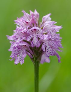 Orchis tridentata - Three-toothed orchid. Click on this image and the next two images for an up-close view of the intrinsic beauty of these flowers