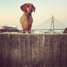 '----()- Where is your favourite place to walk your dachshund?  One of our regular destinations in Bicentennial Park in Glebe. A large off leash area a small area to swim along with views of 2 of Sydney's iconic bridges and a coffee at DRA supporters @archway1theatrecoffeeco perfect start to the day :) Pic @jr_247  #dachshundrescueaustralia #dachshunds #dachshund #australia #dachshundsofinstagram #australiandachshunds #sausagedog #wienerdog #doxie #dachshundoftheday #dachshundlove…