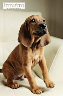 coonhound.... Look at the face...