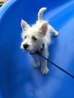 **He looks just like my Skooter! <3 ** Fergus' first time on a slide. 3 mo. West Highland White Terrier