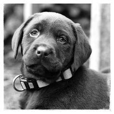 Chocolate brown lab pup / chocolade bruine labrador /onze Dorus 8 weken