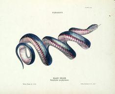 Illustration of a Black Snake by Helena Forde (Scott)