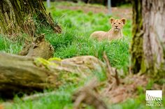 I spy with my little eye... a frisky, furry #lion #cub on the lookout!
