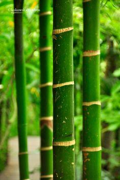 Bamboo forest around Spa, Four Seasons Samui