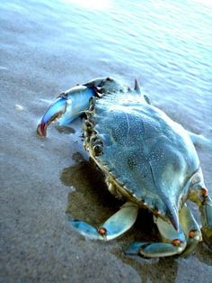 Hampton is know a Crab Town for its Chesapeake Bay Blue Crab Under The Water, Under The Sea, Crab And Lobster, Big Crab, Deep Blue Sea, Ocean Creatures, Sea And Ocean, Ocean Deep, Ocean Life