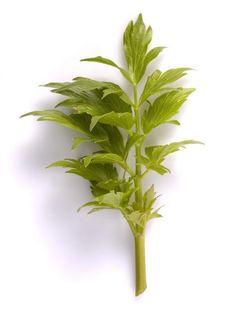Lavas of maggikruid (Levisticum officinalis)