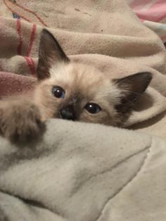 Things that make you go AWW! Like puppies, bunnies, babies, and so on. A place for really cute pictures and videos! Pretty Animals, Cute Little Animals, Pretty Cats, Cute Funny Animals, Beautiful Cats, Cute Dogs, Siamese Kittens, Baby Kittens, Cute Cats And Kittens