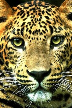 "Leopard with mesmerizing eyes.  Of course, he's probably thinking, ""You look like a tasty lunch."""