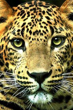 Leopard with mesmerizing eyes.
