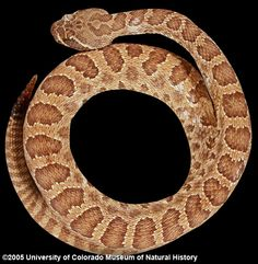 Phoebe could round these up by She's amazing Lizards, Snakes, Reptiles, Aggressive Animals, Hissy Fit, Shes Amazing, Viper, Frogs, Animal Kingdom