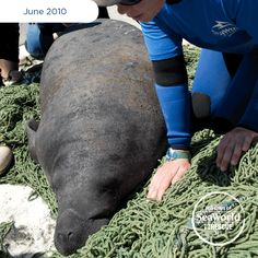 When a manatee is floating near the surface and unable to submerge, it could mean the animal has suffered a boat strike injury. This female manatee was one of the lucky ones that SeaWorld was able to rescue. #365DaysOfRescue